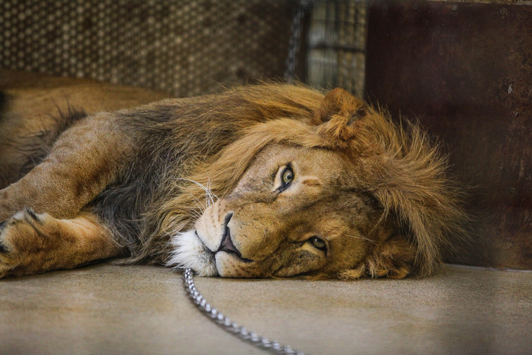 lion duisburg.jpg