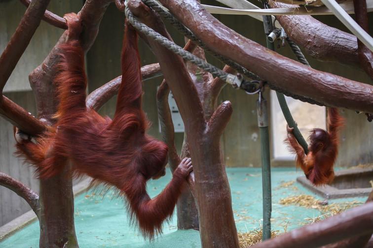 bornean orangutan krefeld 3.jpg