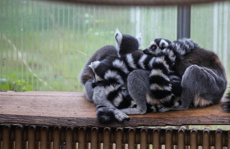 ring tailed lemur duisburg.jpg