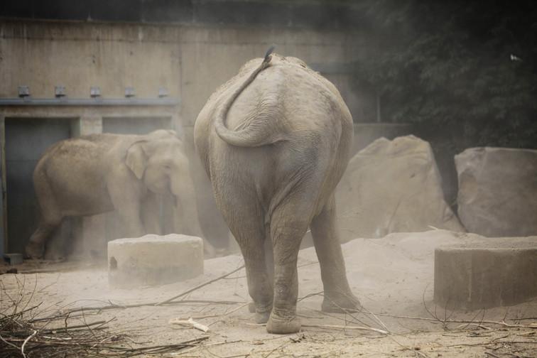 asian elephant krefeld.jpg