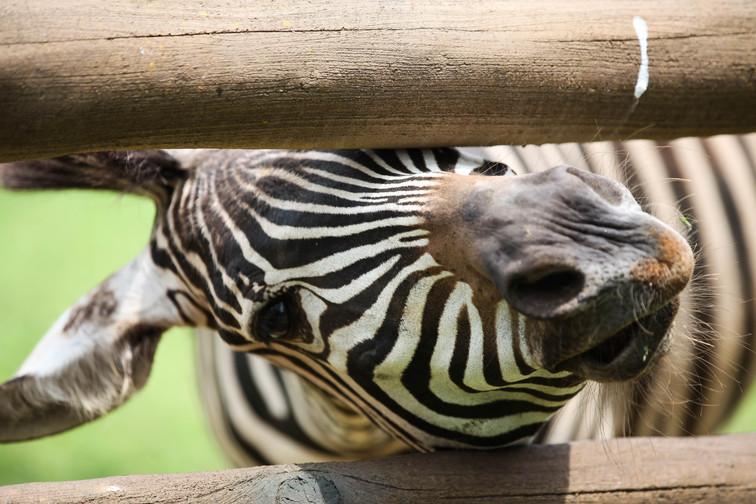 zebra dalia forest.jpg