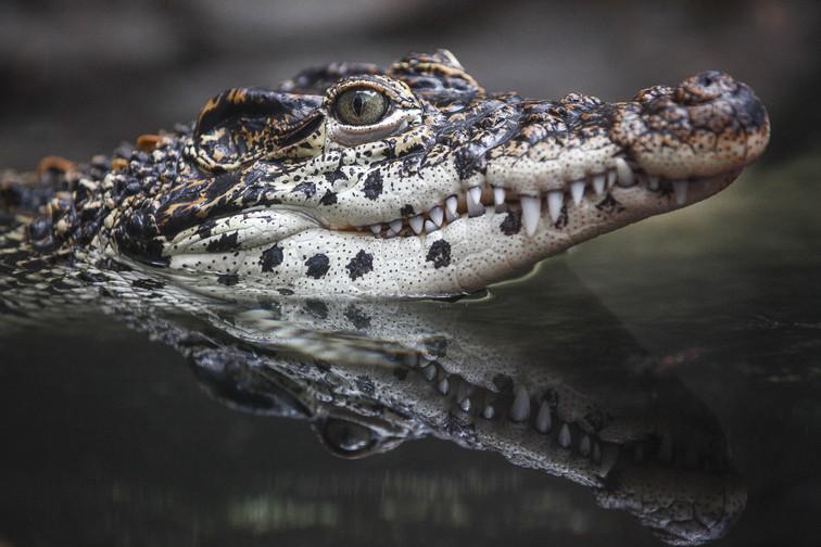 american alligator dc.jpg