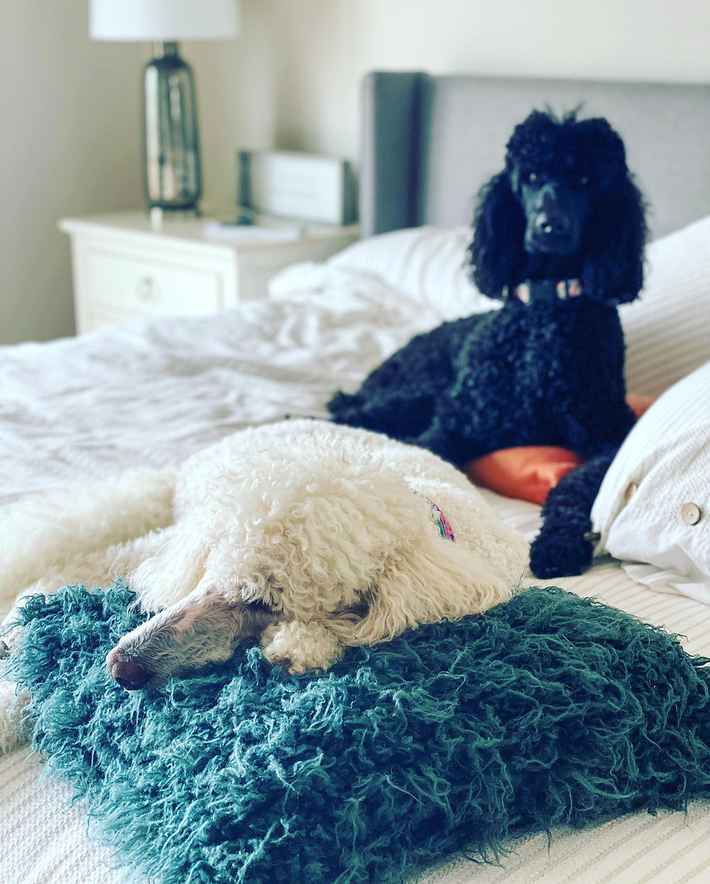 Poodles, dogs, spoiled, home decor