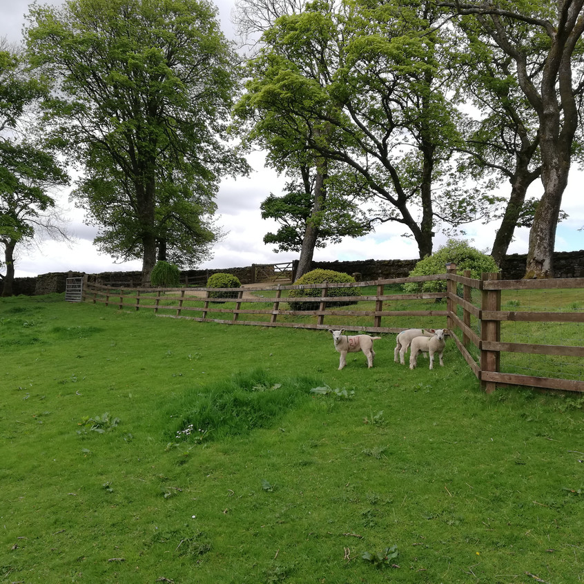 Release of first lambs