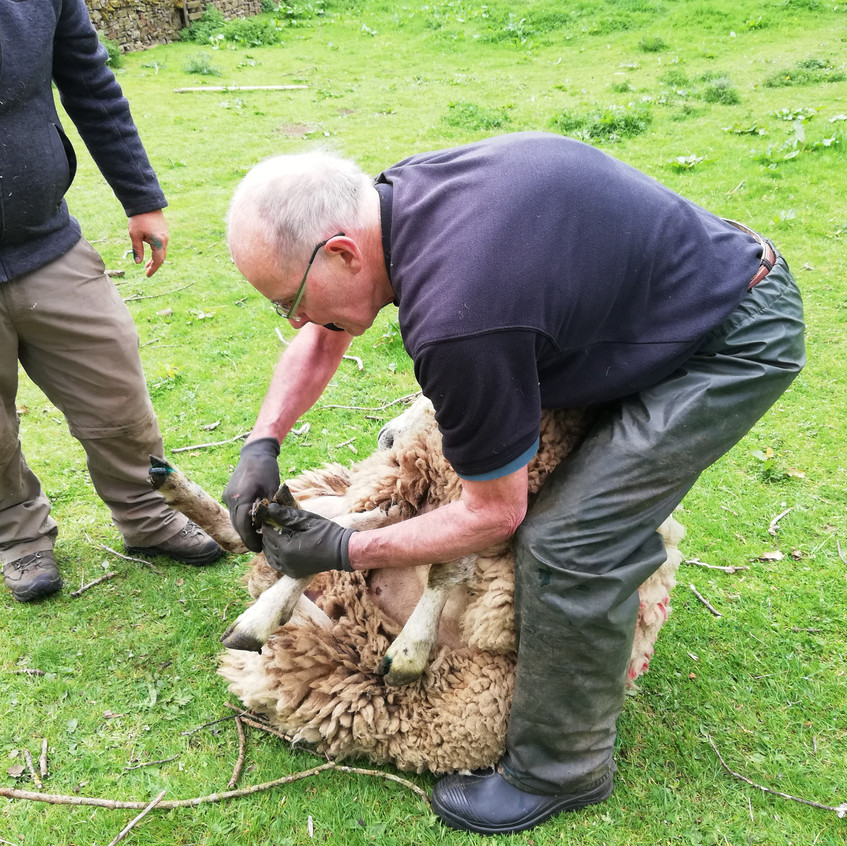 Wrestling the first sheep