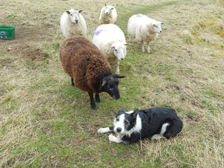 SHEEP WORRYING DOG