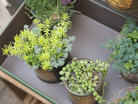 How to Choose Healthy Succulents
