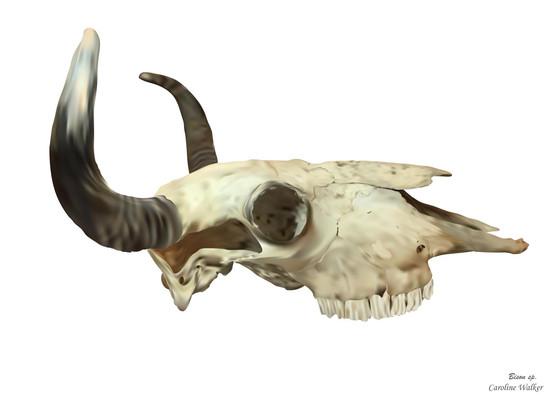 Bison Skull Digital Painting