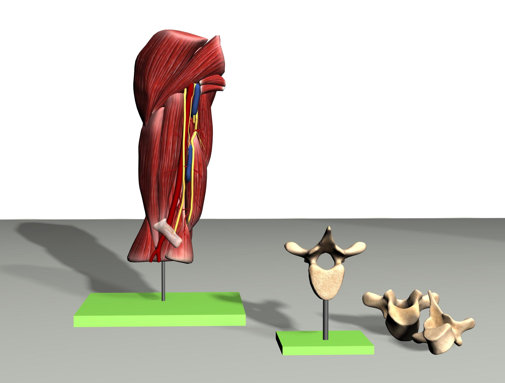 3D Model Upper Arm Muscles and Detail of Vertebrae