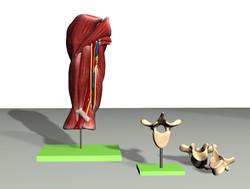 3D Model Upper Arm Muscles and Detail of Vertebrae