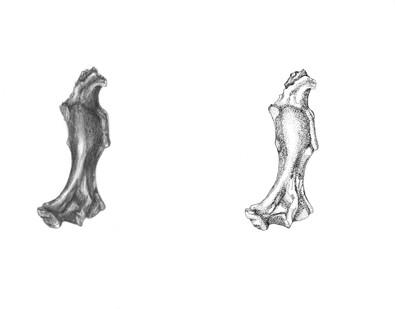 Quyania Humerus