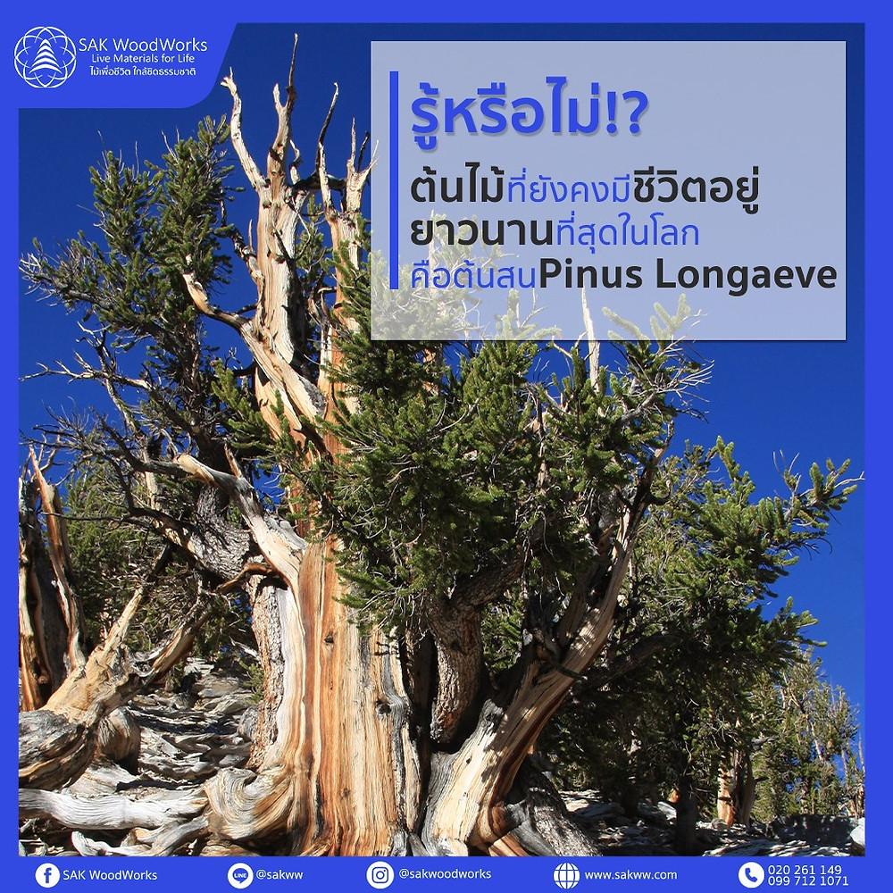 ต้นสน,อายุต้นสน,ไม้สน,อายุไม้สน,ไม้สนรัสเซีย,อายุของไม้สน