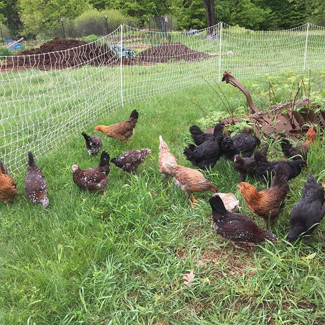 The Koljian Farm flock is looking fabulo