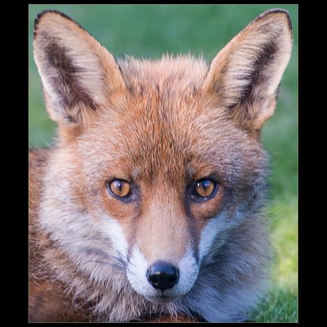 Eye to Eye, Mr Fox