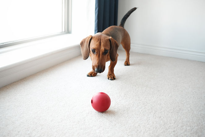 Dog playing with red ball in living room