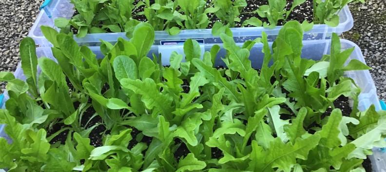 Mini Lettuce Garden!