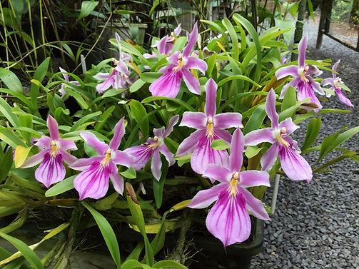 Miltonia spectabilis var. Rosea IMG_4563