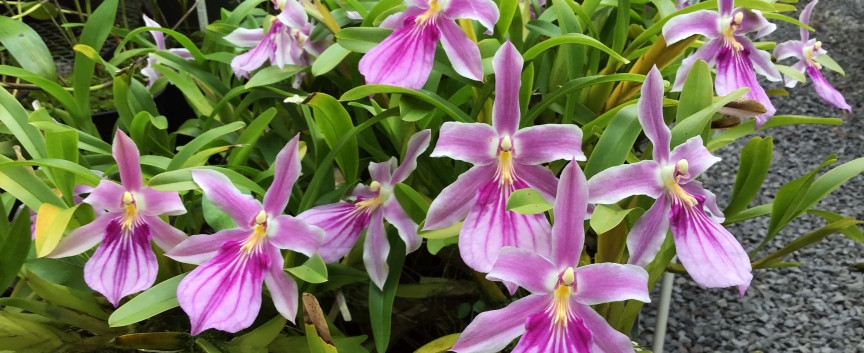 Miltonia spectabilis var. Rosea