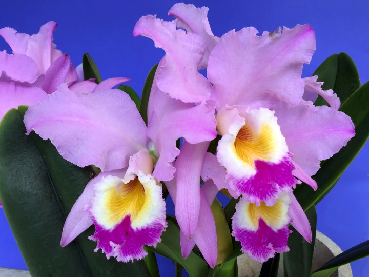 Cattleya gaskelliana 'Black Tiger' x 'Jazmin'
