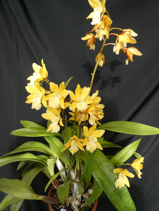 Eplc. Golden Sunburst 'Exotic Orchids' A