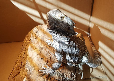 Charlie the bearded dragon.jpeg