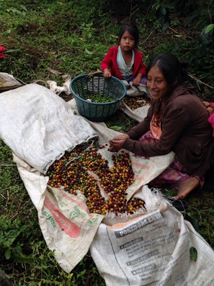 GUATEMALA コーヒー農園視察記③