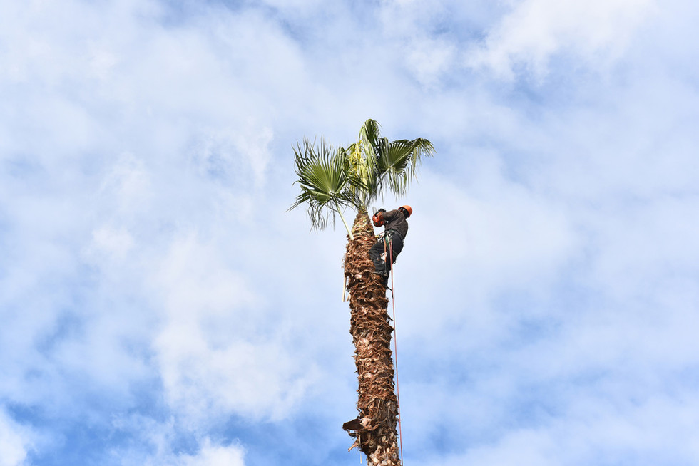Tree-Trimming-Image-1231-Palm-1.jpg