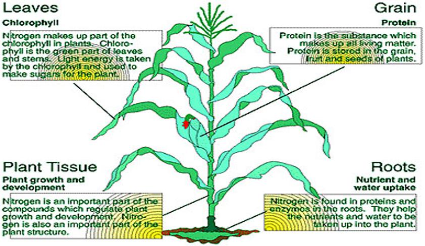Importance of Nitrogen in Plants