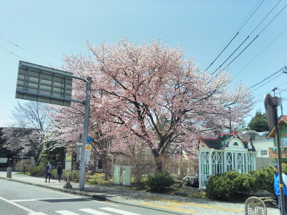 軽井沢お花見(桜)スポット 旧軽井沢ロータリー