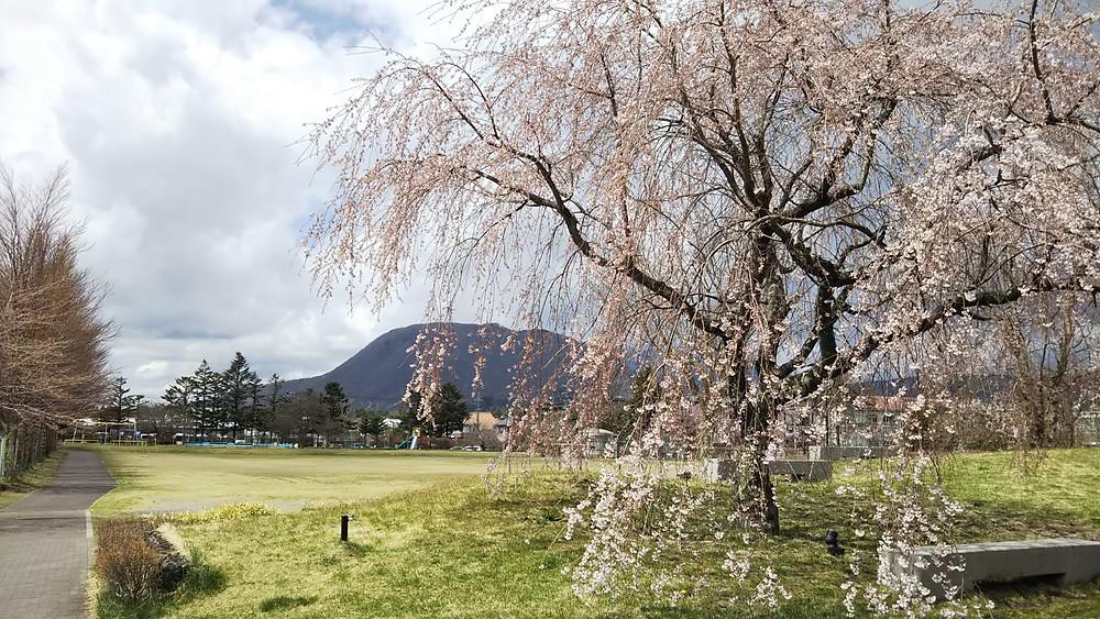 軽井沢お花見(桜)スポット 矢ケ崎公園