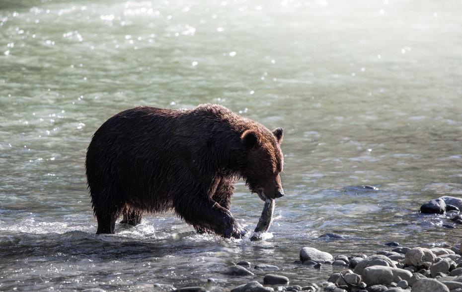 JenniNaturally_West Coast Grizzly-19.jpg
