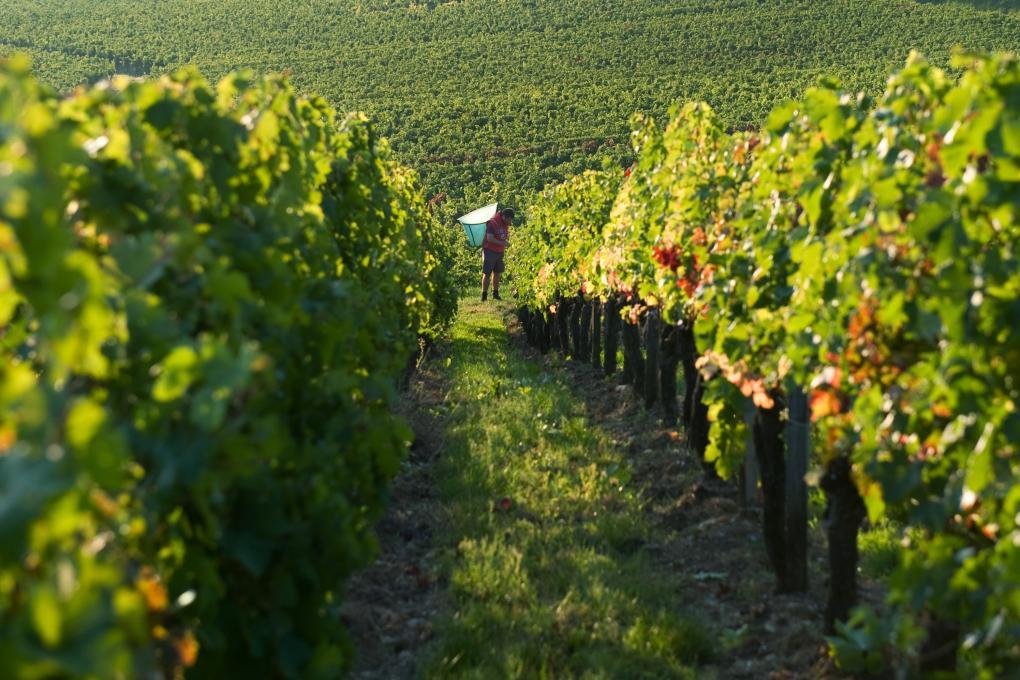 Harvest Time at Château Verniotte