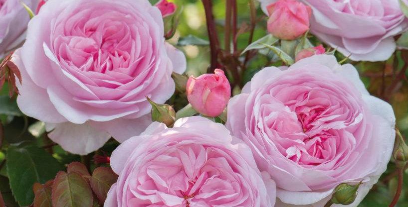 Olivia Rose rosier anglais