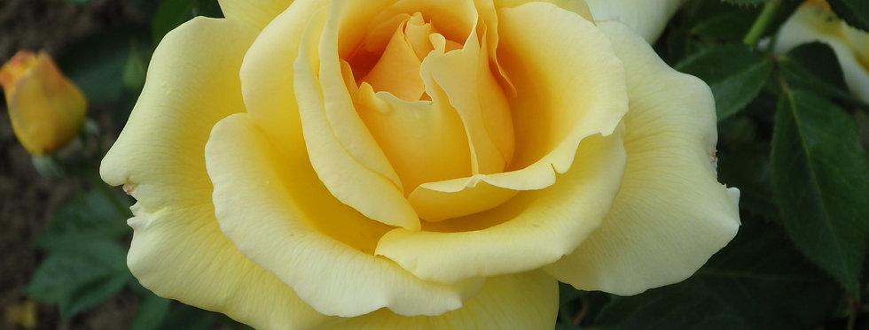 Glorius rosier tige