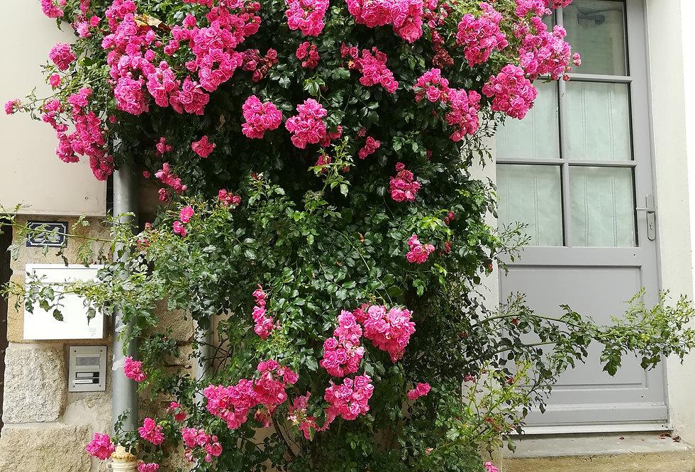 Eméra rosier grimpant