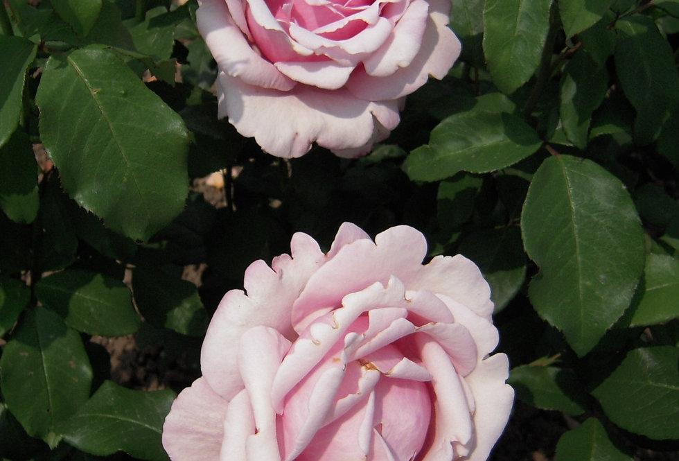 Parfum de Liberté rosier buisson