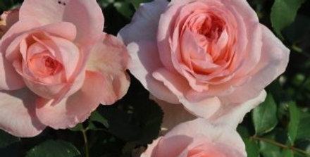 Savannah rosier buisson