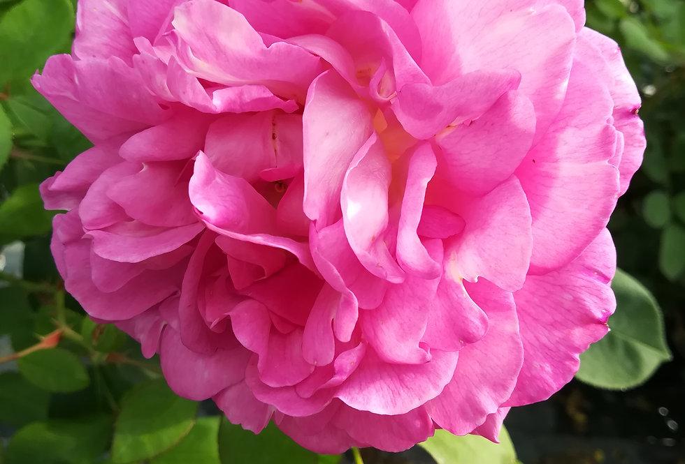 Esprit de Jardin rosier buisson