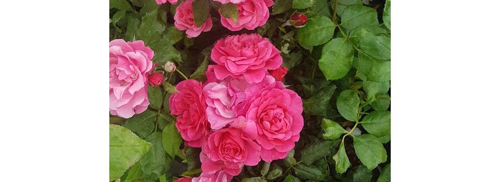 Pêché Gourmand rosier buisson