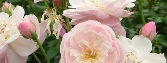 Rose Delacroix rosier liane