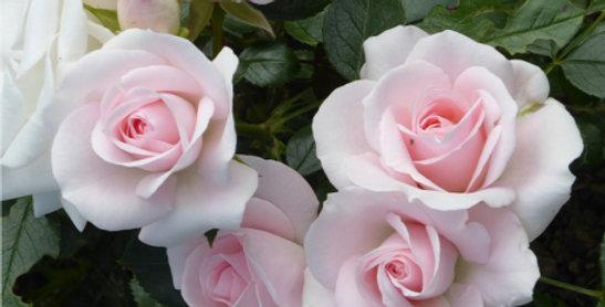 Aspirine Rose rosier pleureur