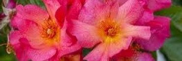 Yann Arthus Bertrand rosier buisson