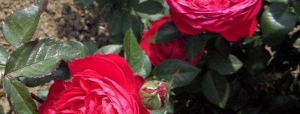 Marylou rosier tige