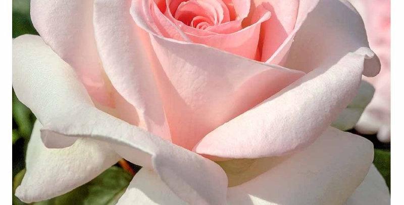 Prince Jardinier rosier buisson