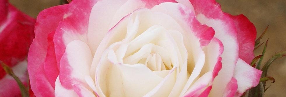 Burlesque rosier buisson