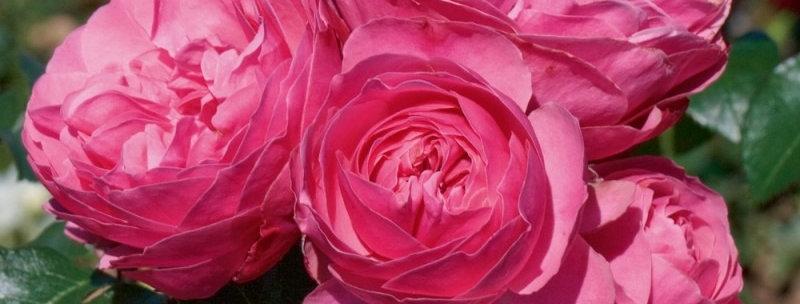 Léornard da Vinci rosier tige