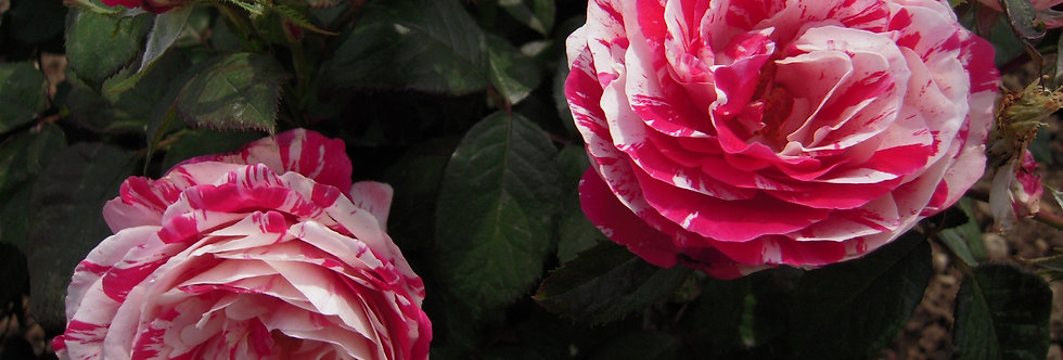 Scentimental rosier buisson