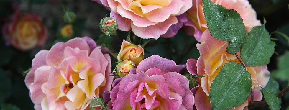 Prieuré de Saint Cosme rosier buisson