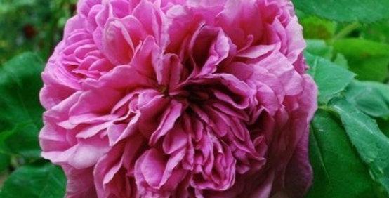Yolande d'Aragon rosier ancien