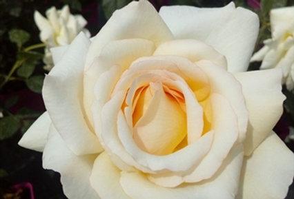 Anastasia rosier buisson